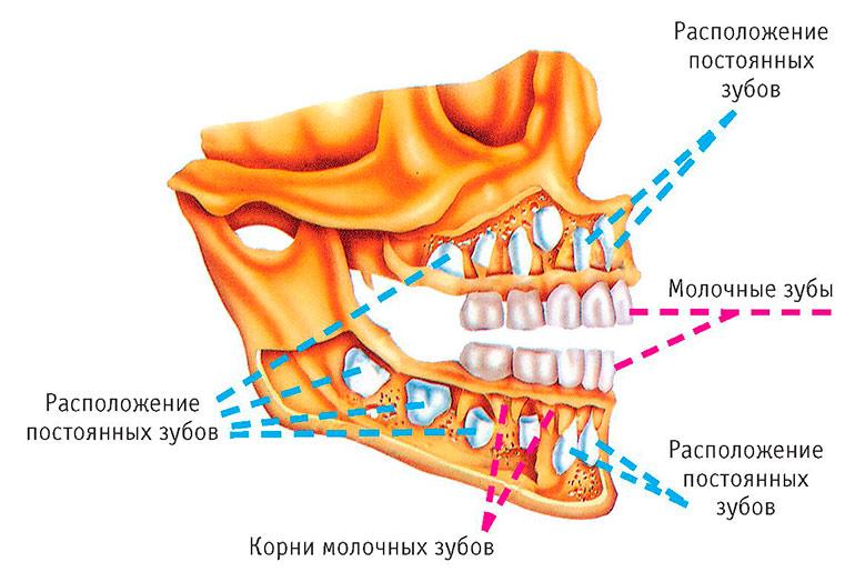Зубы человека - анатомия, стороение, виды зубов